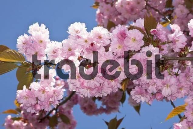 Spring blossoms of a Japanese Cherry tree Prunus serrulata Kanzan, Schleswig-Holstein, Germany, Europe