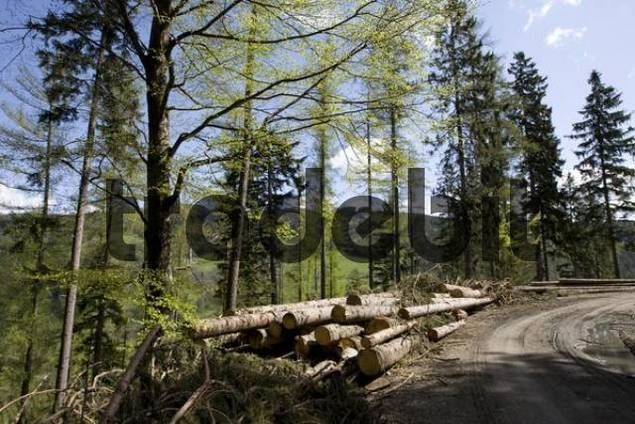 Lumbered wood lying on a mountain slope, storm damage, to be removed by forest administration, Styria, Austria, Europe