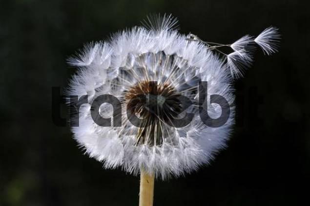 Dandelion, Dandelion Clock Taraxacum