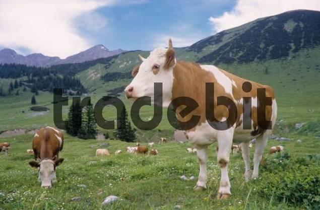 Cattle, cows, Tiroler Fleckvieh breed, grazing on a pasture, Karwendel Range, Tyrol, Austria, Europe