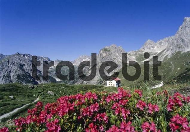 Steinseehuette alpine hut, red Rhododendron blossoms, Lechtal Alps, Tyrol, Austria, Europe