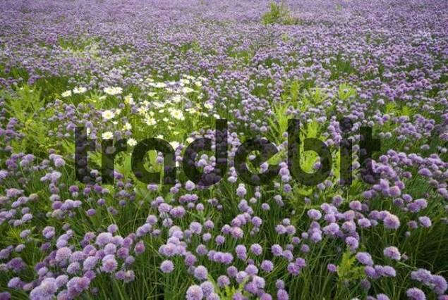 Field of Chives Allium schoenoprasum, Voels, Tyrol, Austria, Europe