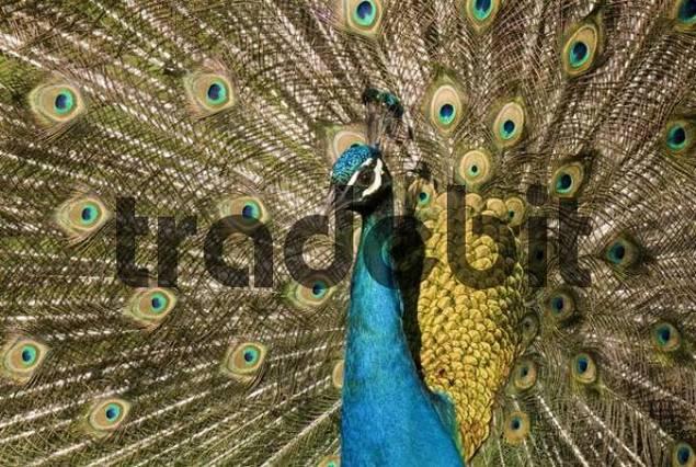 Peacock Pavo, Strass im Zillertal, Tyrol, Austria, Europe
