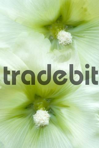 Common Hollyhock Alcea rosea in Gertrude Messners herb garden, Brandenberg, Tyrol, Austria, Europe