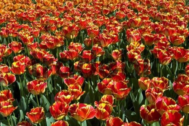 Red-yellow Darwin-Hybrid-Tulips, Tulipa cultivar, species Banja Luka