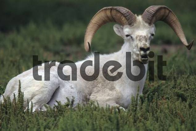 Dall sheep Ovis dalli, ram, British Columbia, Canada, North America