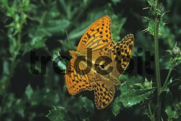 Silver-washed Fritillary Argynnis paphia, mating, male left, female right