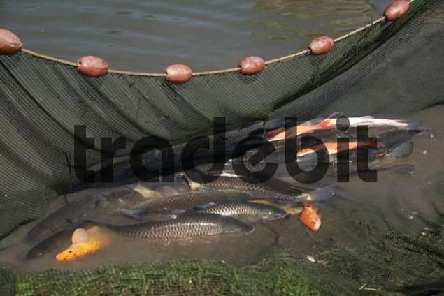 Fresh water fish in net grass carp or white amur for White amur fish