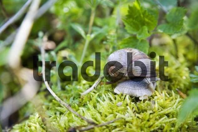 Burgundy Snail, Roman Snail Helix pomatia on moss