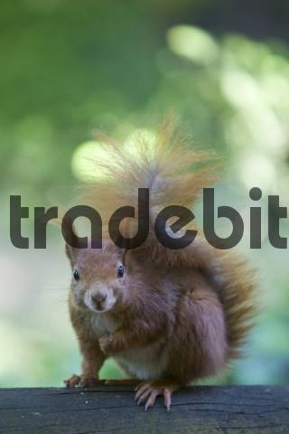 Red Squirrel Sciurus vulgaris, Hesse, Germany, Europe