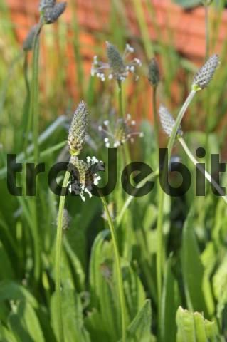 Blooming Ribwort Plantain Plantago lanceolata