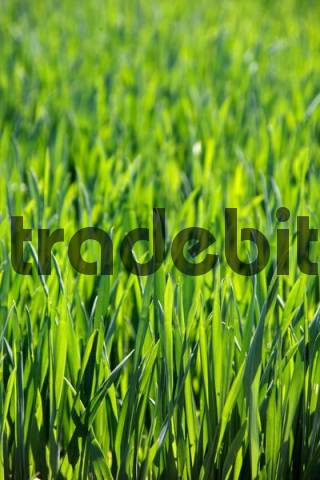 Field of corn in spring, background, texture