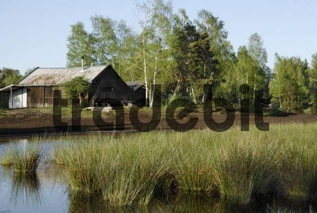 Evening mood at a cabin of the former peat factory Nickelheim beside a marsh pond with Soft Rushes Juncus effusus and Downy, White or Hairy Birch trees Betula pubescens, Raubling, Bavaria, Germany