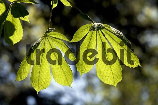 Horse-chestnut or Conker tree Aesculus hippocastanum, tree with spring growth, backlit leaves, visible leaf veins, photosynthesis
