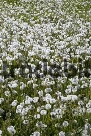 Meadow of dandelion clocks, blowballs, Taraxacum officinale, seed heads