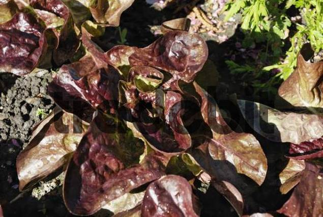 Red lettuce leaves Lactuca in a vegetable patch