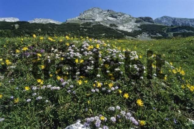 Flower meadow, Brandenberg Alps aka Rofan Range, Tyrol, Austria, Europe