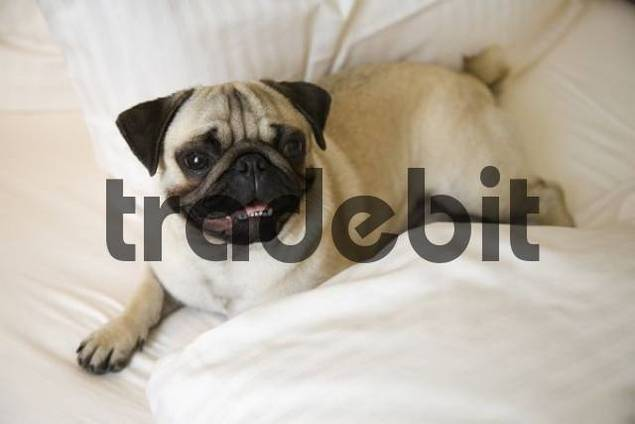 Young pug lying on a bed, blanket