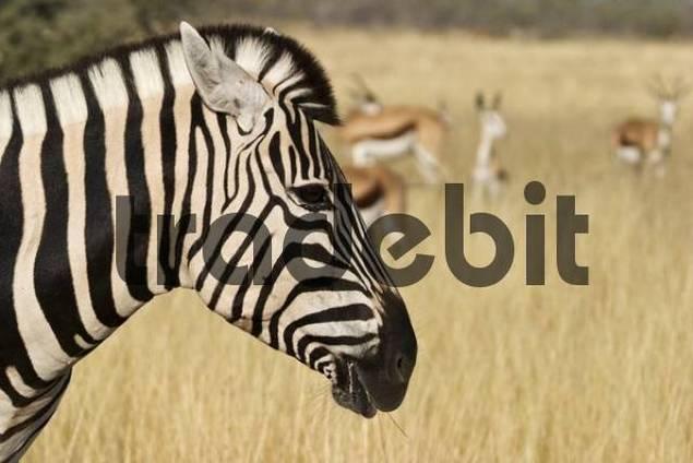 Plains Zebra Equus quagga, formerly Equus burchelli, also known as the Common Zebra or Burchells Zebra and Springbok Antelopes Antidorcas marsupialis, Etosha National Park, Namibia, Africa