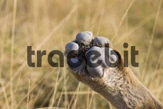 Lions paw Panthera leo, Etosha National Park, Namibia, Africa