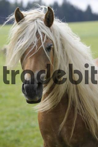Portrait of a Haflinger Equus caballus mare