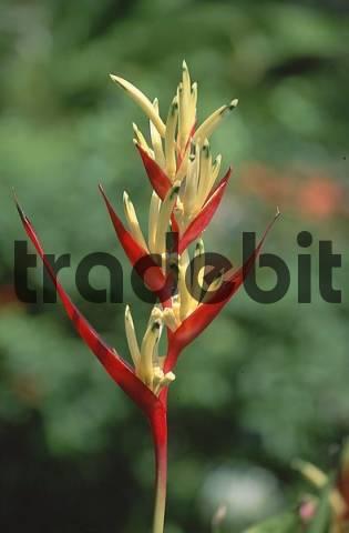 tropic blossom
