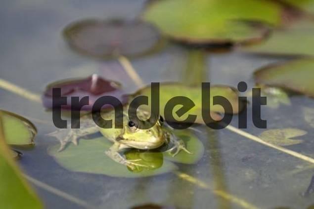 Edible Frog Rana kl. esculenta