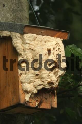 European Hornet Vespa crabro nest in a birdhouse