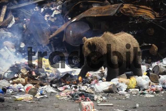 Grizzly Bear Ursus arctos horribilis rummaging through a garbage dump, Alaska, USA