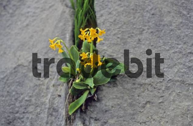 Bears ears or Mountain cowslip Primula auricula in a crevice Mangfall mountains Germany