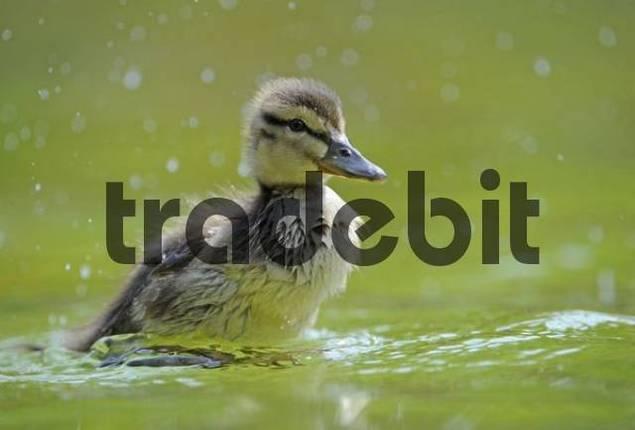 Mallard Duckling Anas plathyrrhynchos