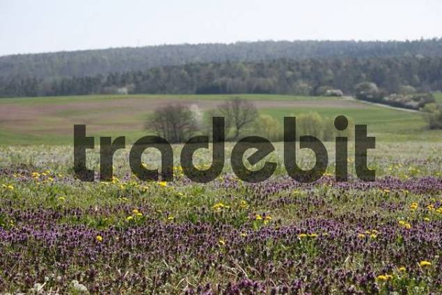 Flowering uncultivated meadow with Red Deadnettle or Purple Deadnettle Lamium purpureum, near Burkardroth, Rhoen Mountains, Lower Franconia, Bavaria, Germany, Europe