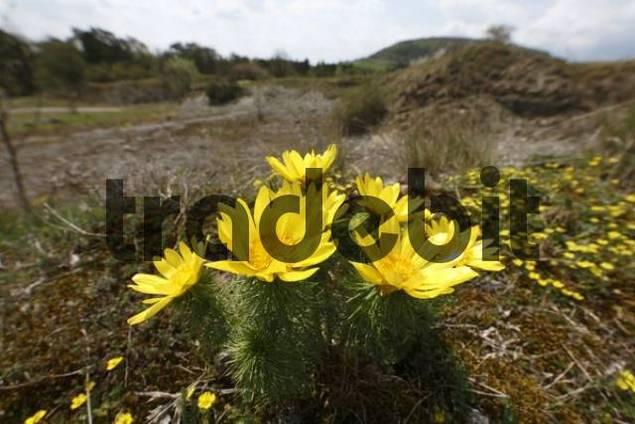 Pheasants Eye or False Hellebore Adonis vernalis, Sodenberg-Gans Nature Reserve near Hammelburg, Rhoen Mountains, Lower Franconia, Bavaria, Germany, Europe