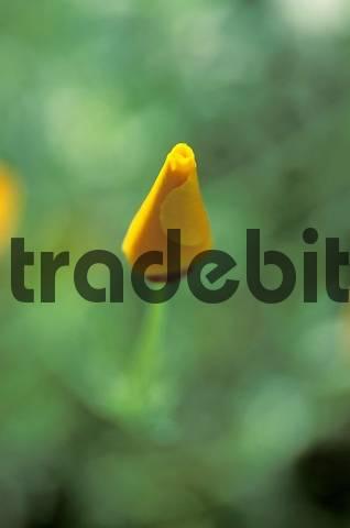 closed yellow flower