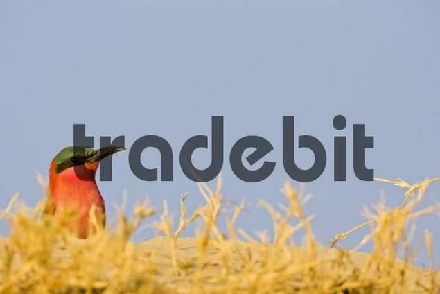 Carmin Bee-eater Merops nubicoides, Caprivi Strip, Zambezi, Namibia, Africa