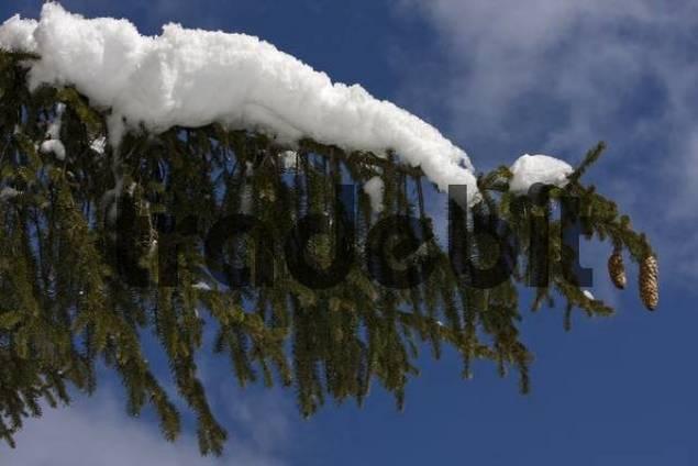 Fir tree branch laden with snow, Oberstaufen, Bavaria, Germany, Europe