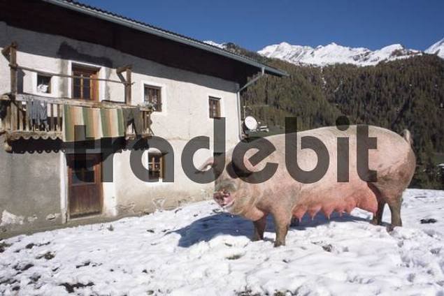 Domestic Pig Sus scrofa domestica in the mountains, South Tyrol, Italy, Europe