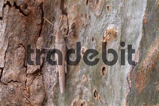 Grasshopper Saltatoria sitting camouflaged on the bark of a Eucalyptus Tree Eucalyptus, Northern Territory, Australia