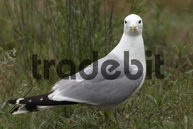 Common Gull Larus canus, portrait, Bremen, Germany, Europe
