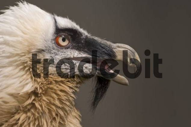 Bearded Vulture Gypaetus barbatus