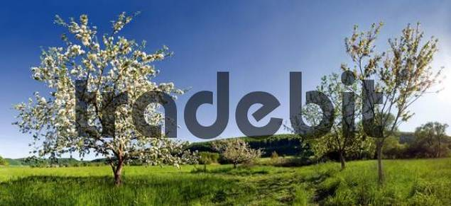 Apple Trees Malus in bloom near Obereichstaett in the Altmuehltal Valley Nature Park, Bavaria, Germany, Europe