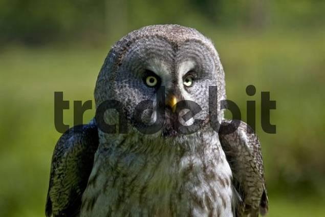Great Grey Owl, Lapland Owl Strix nebulosa, portrait