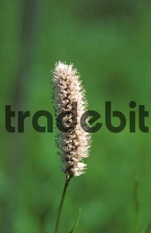 grass in bloom