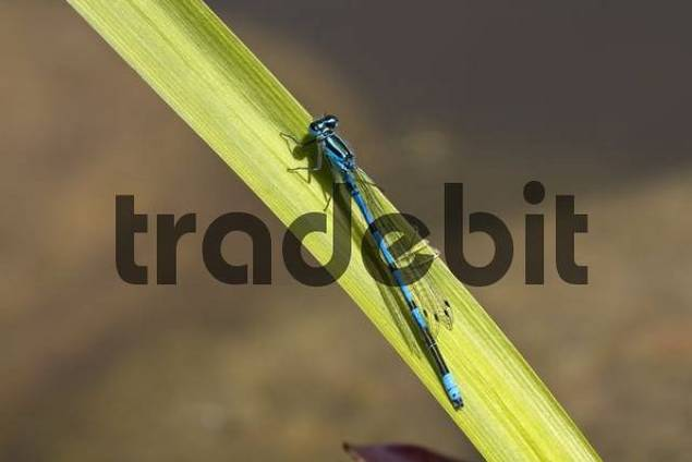 Azure Damselfly, male, Coenagrion puella, dragonfly
