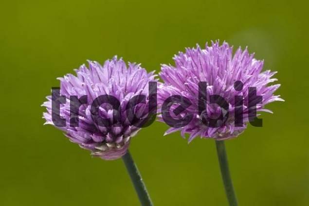 Chives Allium schoenoprasum in bloom