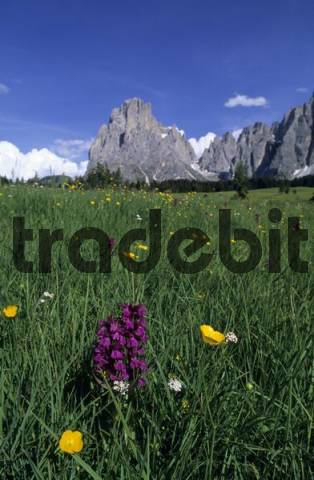 Flowery meadow with Western Marsh Orchid Dactylorhiza majalis and Creeping Buttercup Ranunculus repens in front of Langkofel Mountain, Seiser Alm, Dolomites, Italy, Europe