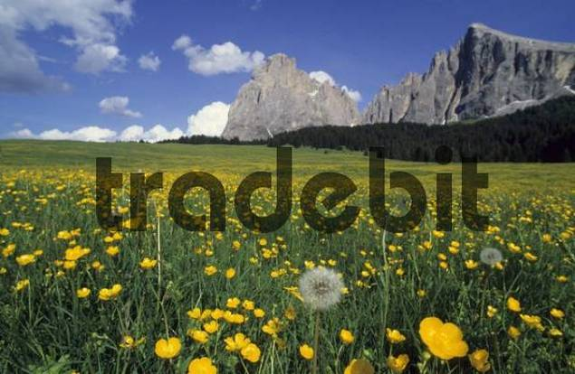 Alpine flowery meadow with Creeping Buttercup Ranunculus repens and Dandelion Taraxacum officinalein in front of Langkofel Mountain, Seiser Alm, Dolomites, Italy, Europe