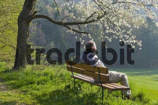 Man sitting on a bench underneath a blossoming fruit tree, Bucklige Welt, Lower Austria, Austria, Europa
