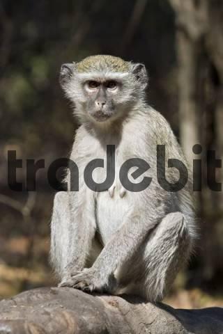 Vervet Monkey Chlorocebus, Botswana, Africa