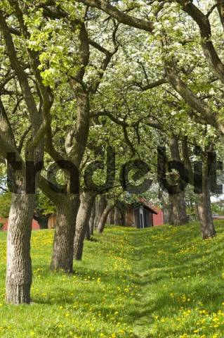 Avenue of pear trees in bloom, Geretschlag, Bucklige Welt, Lower Austria, Austria, Europe